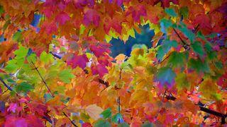 Amazing colors, Maple Tree leaves, full spectrum, greens, magentas, oranges, yellow