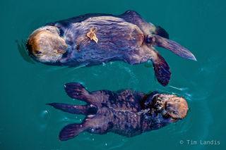 Alaska, otters feeding, sea otters