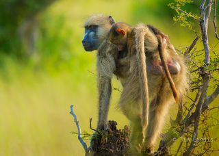 Mother and baby, baboon, mother and baby baboon