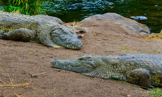 Nile crocodiles, Two crocodiles, apex predator, crocodiles