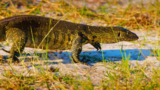 Botswanna, black claws, claws, duba Plains, lizard, monitor, monitor lizard