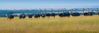 Osterich, osteriches prepare for the night, ostrich formation, the gathering