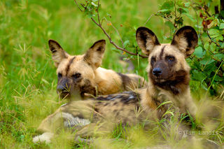 Africa, Botswanna, packs, wild dog pack, wild dogs