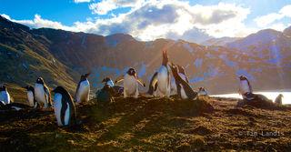 Gentoo penguins, penguin concerto, penguins