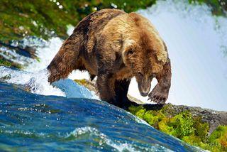 Alaska, grizzly bear powers through waterfall, power, rapids, strength, waterfalls