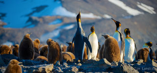 King Penguins announce, crowing, honking, king penguin family, penguins, singing