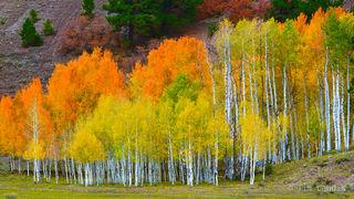 Aspen grove in three colors