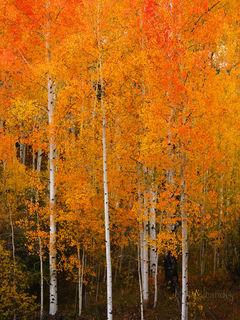 Orange leaves, aspens, color explosion, orange aspens, red aspens