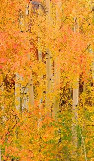 Orange leaves, White trunks, aspens grove prime colors