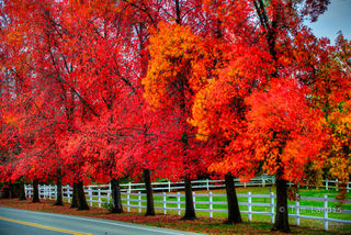 autumn leaves, liquid Amber trees, scarlet reds