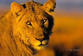 Young Lion at Dawn