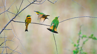 A sitting, a fly by bee eater, a landing, three bee eaters