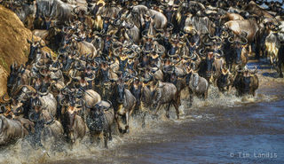 kenya, splash, stampede, wildebeast crossing, wildebeests running in the water