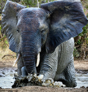 Mudbath, elephant in mud bath, splash