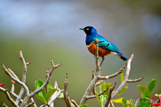 Kenay, superb starling, superb starling on a desert rose