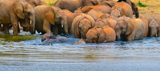 Baby elephants going for a swim