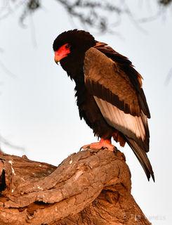 Bateleur eagles, Masa Mara, africa eagle, kenya