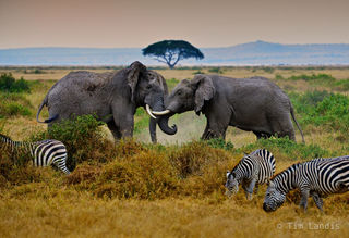 Battling elephants, fighting elephants with zebra grazing.