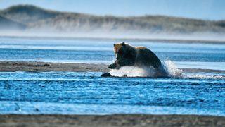 Alaska, fishing bear, grizzly pouncing on salmon