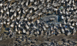 Wildebeests crossing, emerging from the river, wildebeests coming up out of the waters