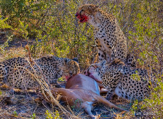 Three cheetah brothers with kill