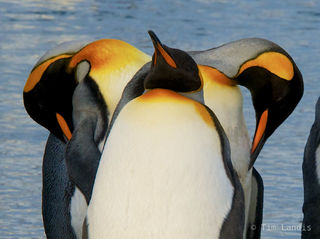 King penguins, S georgia Island, a symetrical preening, three penguins aligned