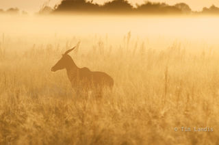 Topi in the early morning mist