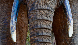 elephant close up, trunk and tusks, wrinkles