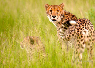 Botswana, two cheetahs in tall grass