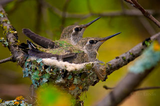 Two Baby Hummingbirds in Nest
