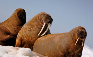 walruses on ice flow