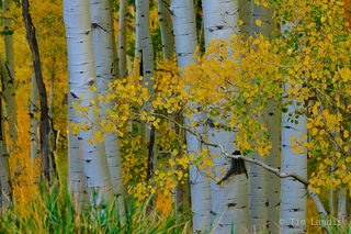 Aspen trunks with fall folliage