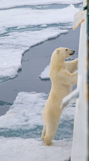 Polar bear looking for someone to eat