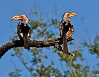 hornbills, pair of hornbills