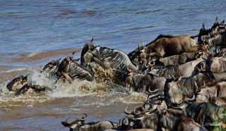 Leaping gnus, leaping wildebeests, splashing gnus