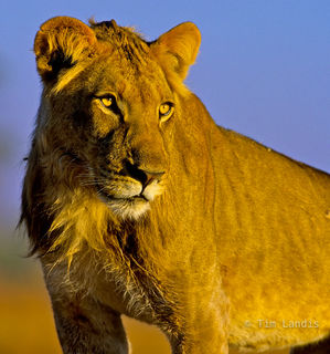 Africa, African Lion, Botswanna lion, Lion above eye level,