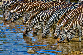 Zebra, Zebras at the river, drinking,