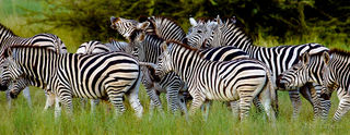 zebras celebrate another day of living