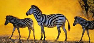 Three zebras in a golden light