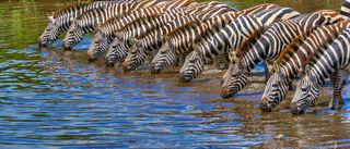 Africa, Zebra, Zebras drinking