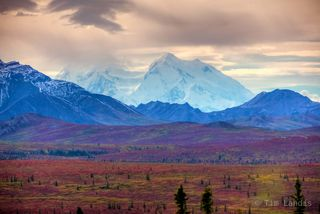 Mt. Denali looms over the red button willows
