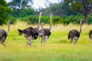 female ostriches, a pride of female ostriches,