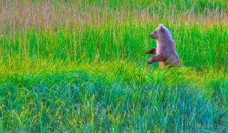 grizzly bear cubs, bear standing,