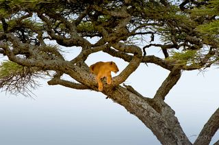 tree climbing lions of Tanzania