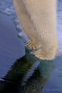 North Pole, Polar Bears, claws, ice flow, paws