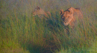 Pride of lions hunting in the fog