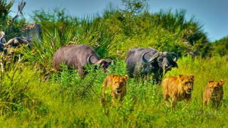 Botswanna, big buffalo push, buffalo, buffalo wars, cape buffalo, cast out of eden, driving out the lions, egrets, horns, lions, lions retreating, sleeping buffalo