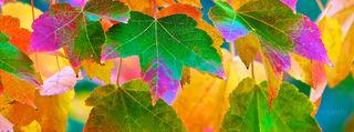 Magic Maple, brilliant Leaves, full spectrum of colors