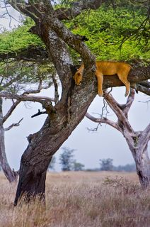 Africa, Lions in Tree, Serengeti Sopa Lodge, napping, naps, sleeping in trees