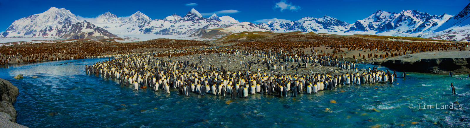 huge colony of King penguins, photo